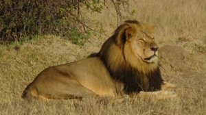 An American man is being sought in connection with a case that has drawn international attention -- the killing of Cecil the lion -- Zimbabwean officials said Tuesday, July 28, 2015. The man suspected in Cecil's death is Walter James Palmer of Eden Prairie, Minnesota, according to Johnny Rodrigues, head of the Zimbabwe Conservation Task Force.
