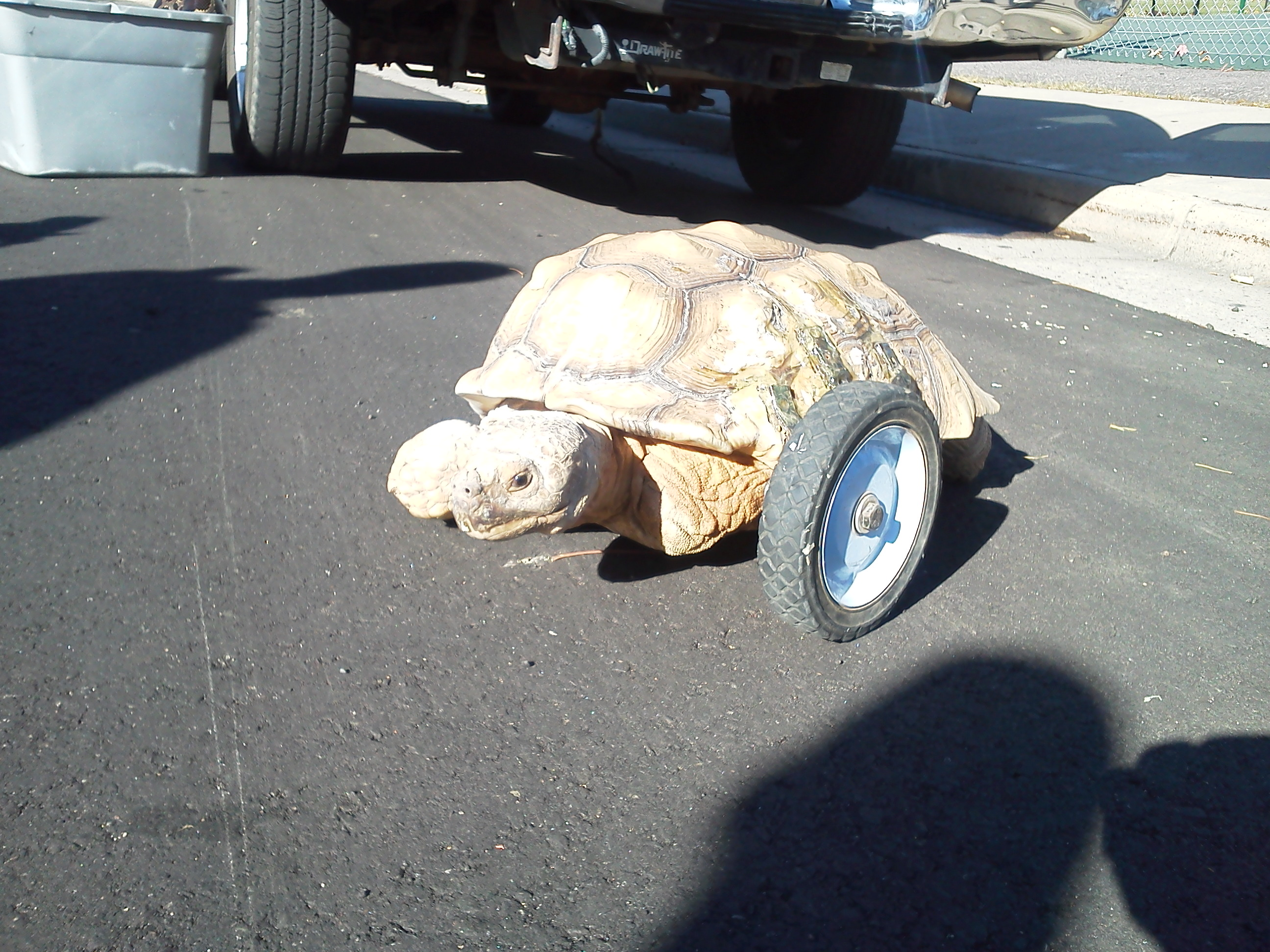 """""""Stumpy"""" the African Spurrred tortoise was one of 15 reptiles recovered when police found Phil Rakoci's stolen SUV on Oct. 18, 2012. (Photo: Dan Gillett)"""