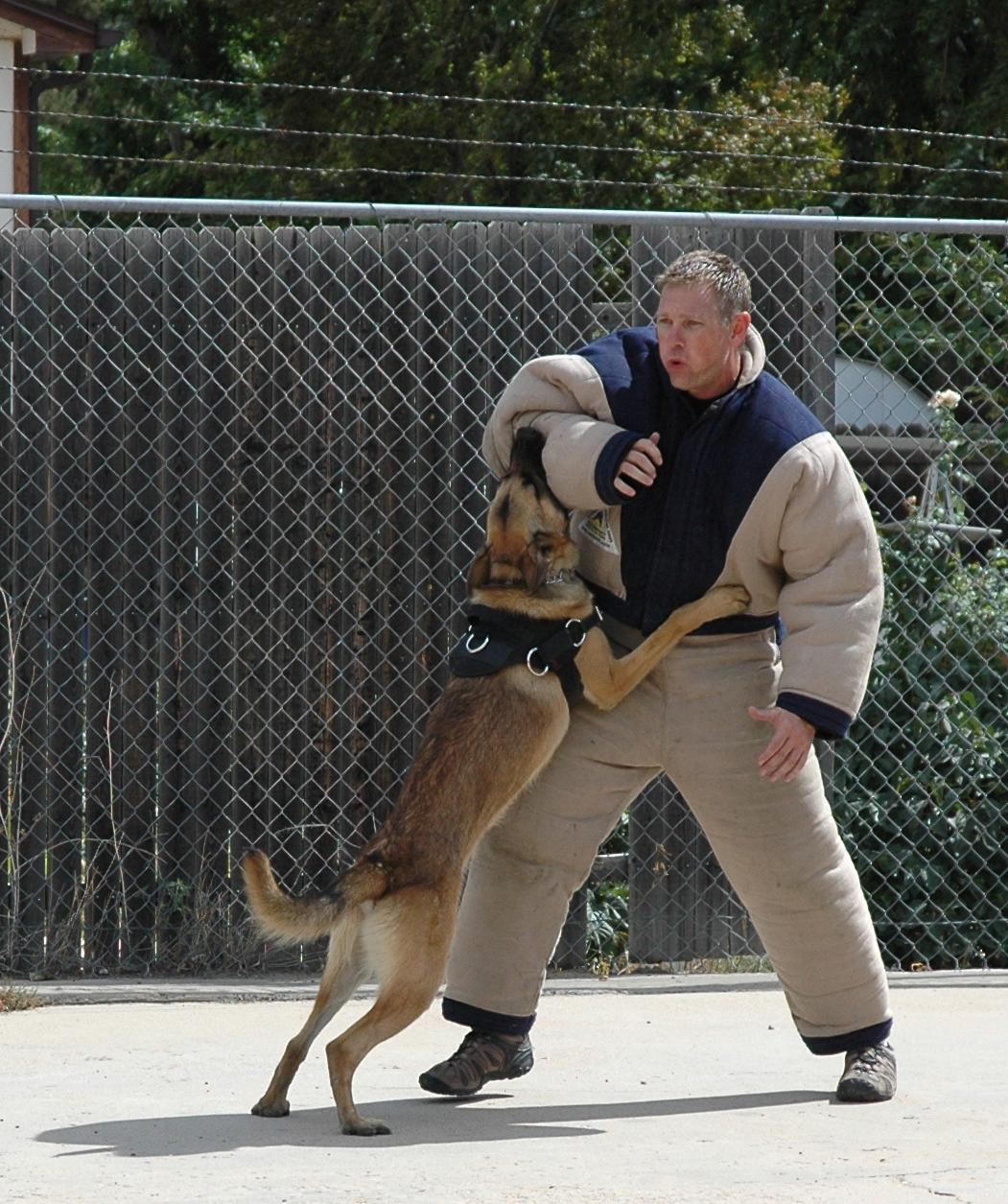 K-9 Buran takes on his target during suspect apprehension training.