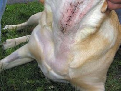 A Labrador's throat after corrective surgery on his vocal cords. (Photo: FindAVet.us)