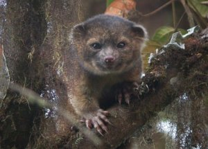 A team of Smithsonian scientists announced the discovery of a new species of Carnivorous mammal on Thursday, August 15, 2013. The Olinguito is found in the cloud forests of the Andes. It is the first carnivorous mammal discovered in the Americas in 35 years. (Credit: CNN)