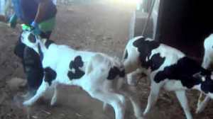 Quanah Cattle Co. investigation. Image from Compassion Over Killing video