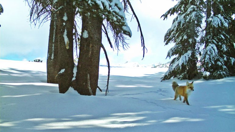 Rare fox spotted in Yosemite National Park