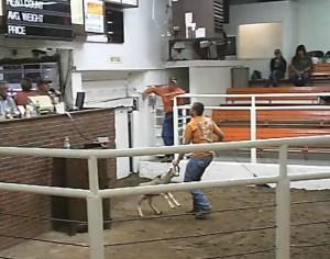 Injured lamb at auction