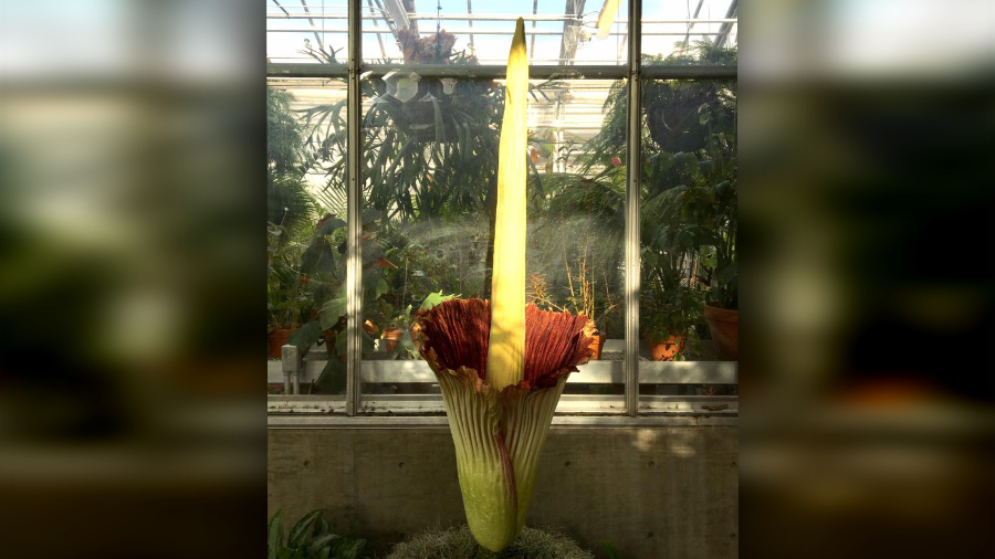 The blooming corpse flower at Denver Botanic Gardens. (Photo: Denver Botanic Gardens)