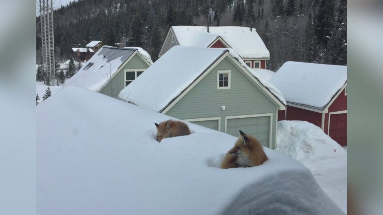 Foxes on the roof in Breckenridge. Photo credit: Andy Carver