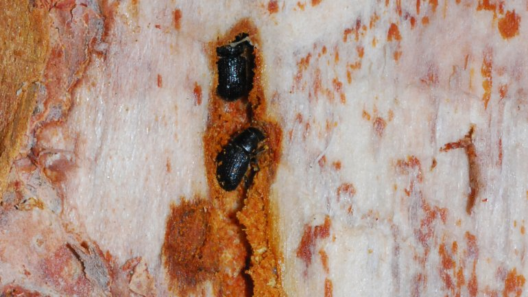 (Adult spruce beetles under the bark of a tree. Photo: Colorado State Forest Service.)