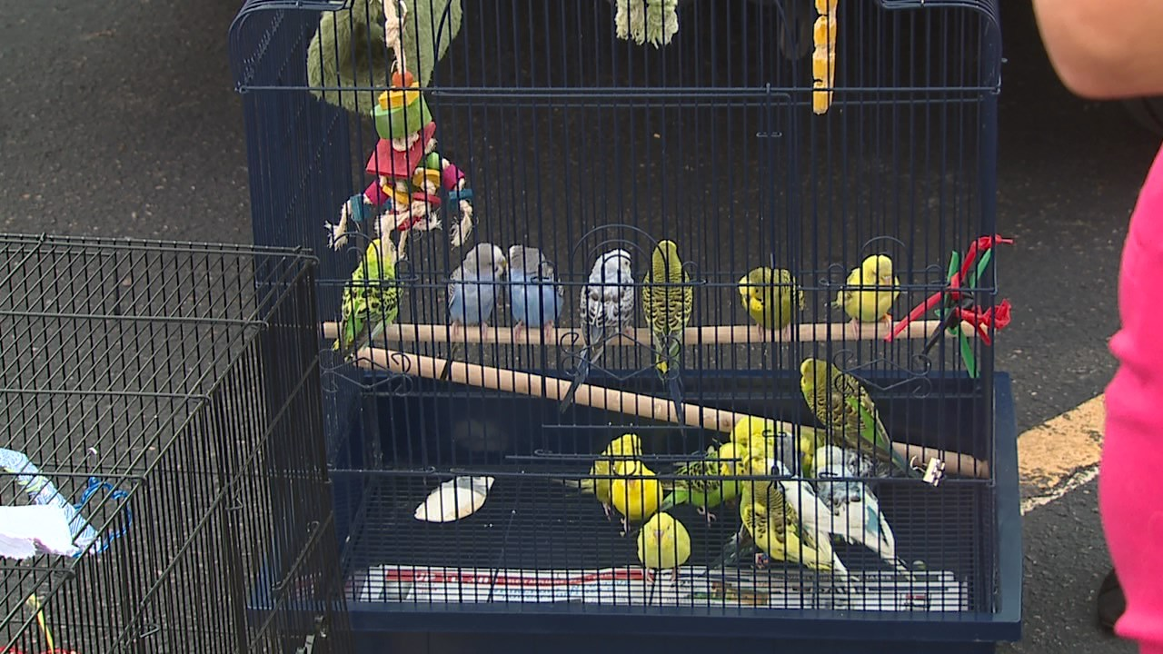 Parakeets in parking lot2