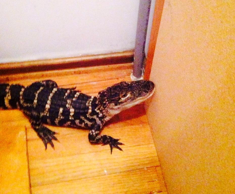 Alligator discovered in Brimfield home closet