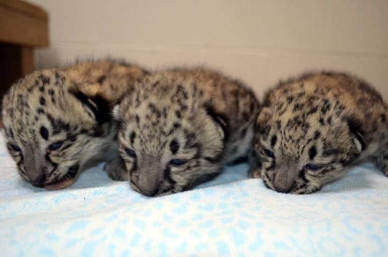 snow leopard cubs (Courtesy: Akron Zoo)