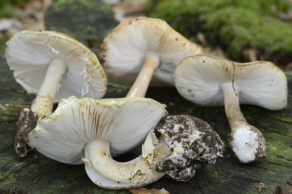 Amanita phalloides mushroom is pictured (Photo credit should read JEAN-FRANCOIS MONIER/AFP/Getty Images)