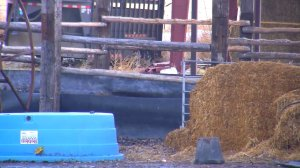 A man wanted for an alleged attempted armed robbery was found hiding from police in a corral full of cow manure. (KSL via CNN)