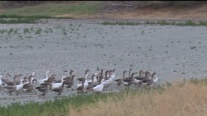 Waterless Geese In Woodland To Be Rescued