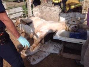 A horse named Phantom became stuck in a bathtub. Courtesy: Metro Fire