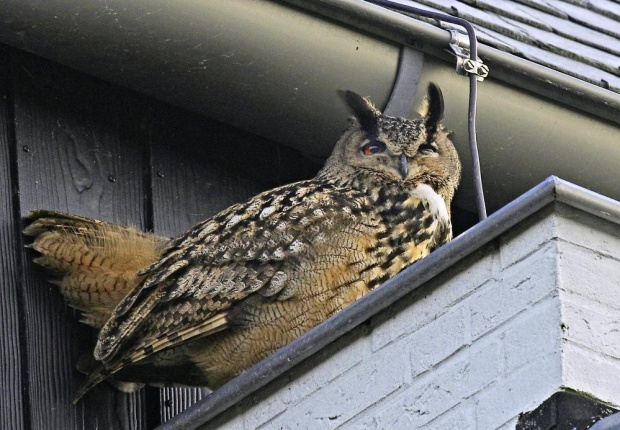 An eagle owl sits perched along a building in Purmerend, Netherlands.  Courtesy  Jacob Jorritsma/AP