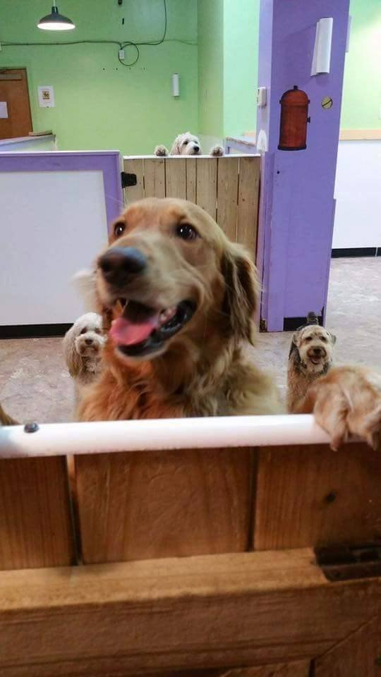 Meet Riley, a 5-year-old golden retriever, who LOVES daycare.