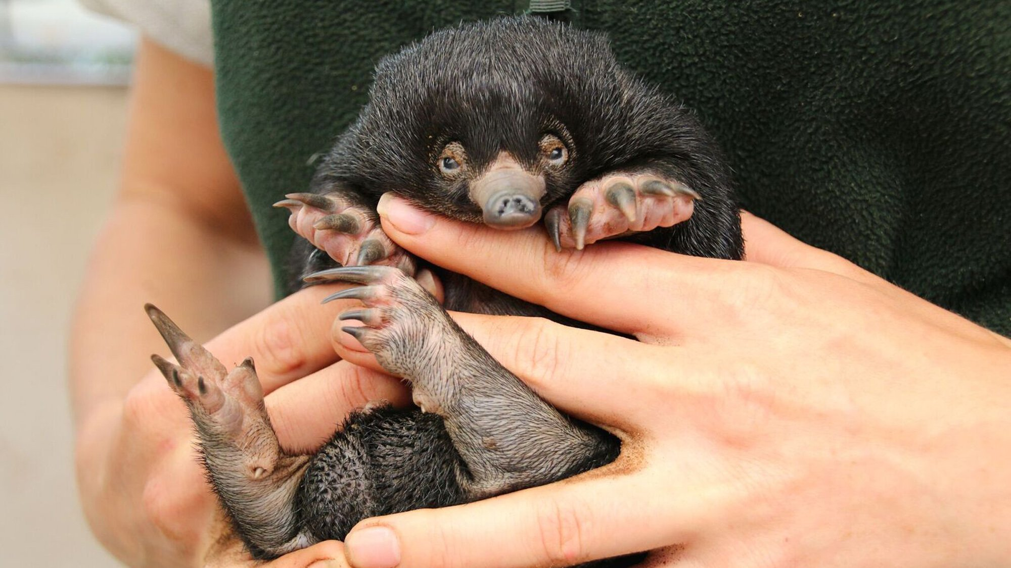 Puggles are baby short-beaked echidnas, a species of spiny anteater. (Credit: CNN)