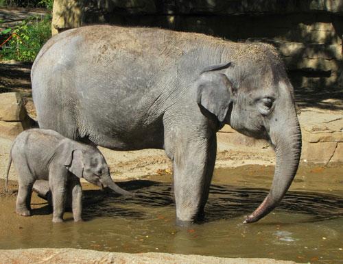 Asian Elephant_KatiePilgram (5)
