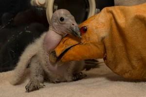 First Condor Chick of Season at San Diego Zoo Safari Park