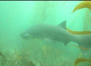 Sevengill Shark Population Increasing In San Diego Waters