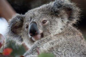 Zoo's koala kirra