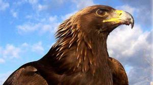 golden eagle_web