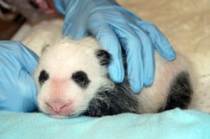 National Zoo's panda cub is healthy, officials say