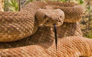 rattlesnake-season