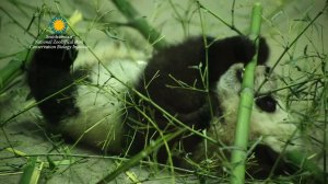 Panda cub Bei Bei will make his first public appearance on January 16, 2016. Panda lovers everywhere have long anticipated this moment at the Washington National Zoo.