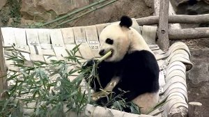 Three-year-old Bao Bao is returning to China where she'll be entered into a breeding program to have cubs of her own.