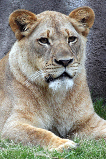 Dallas lioness killed