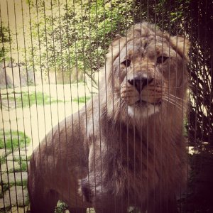 A woman is banned from the Memphis Zoo after climbing over a barrier and attempting to give cookies to the lions. The woman recently became a zoo member and had two run-ins with zoo staff. (Photo: Ashley Crockett/WREG)