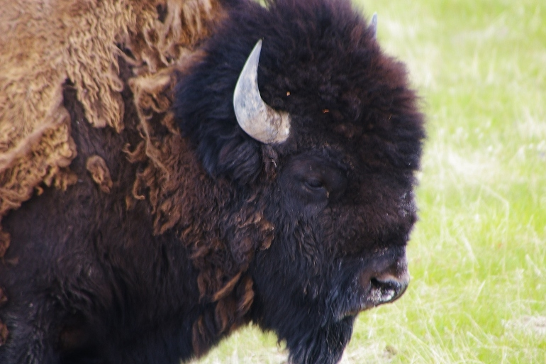 Photo courtesy of  Rich Glamann who is from Riverside, Mo. Glamann told FOX 4 he was vacationing Yellowstone in early May when he saw a buffalo attack a man.