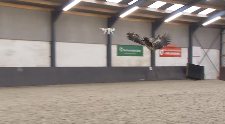 A trained eagle attacks a drone. Photo from Dutch Politie.