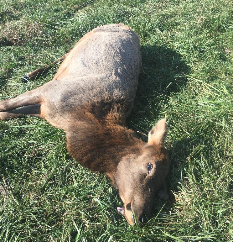 dead elk missouri picture