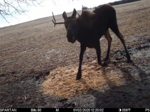 Moose Trail Cam picture