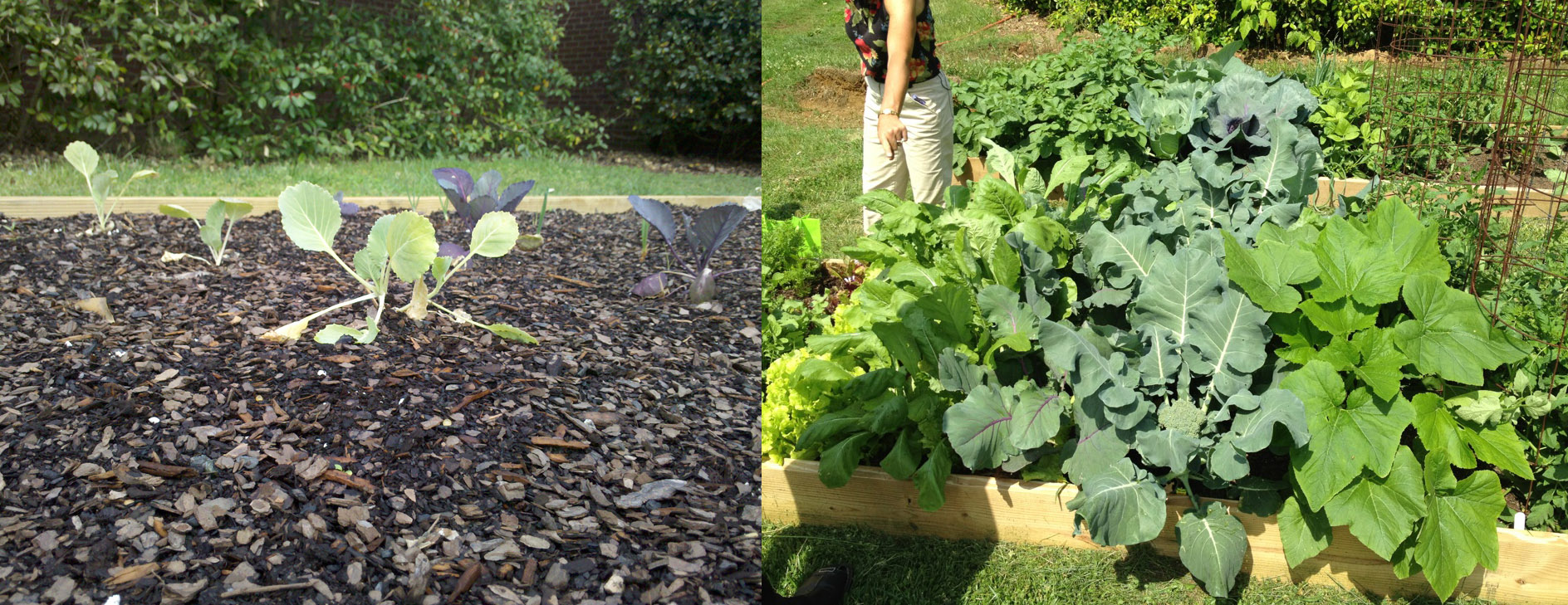 Share the Harvest Garden (before and after)