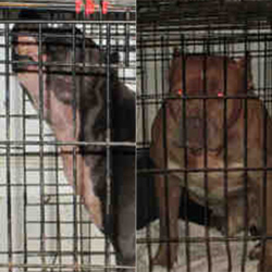 The two dogs involved in the fatal mauling in Kernersville (Forsyth Co. Animal Control)