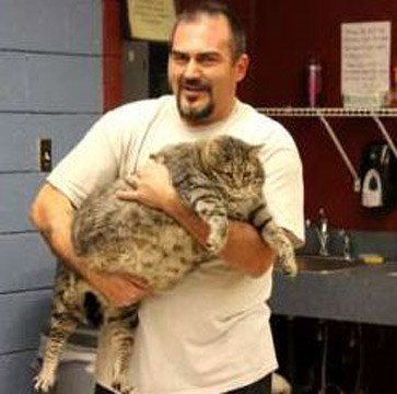 Meatball the cat is 36 pounds