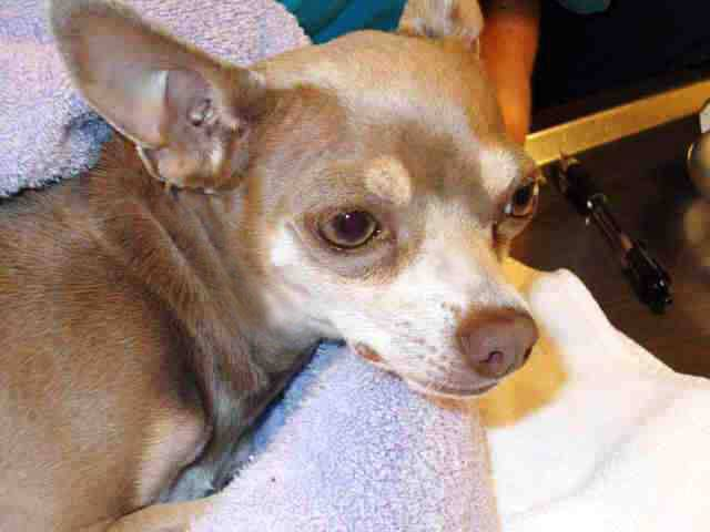A Chihuahua was recovering at an animal shelter in Martinez, California, on May 10, 2014, after being rescued from a freeway in nearby Walnut Creek. (Credit: Contra Costa County Animal Services)