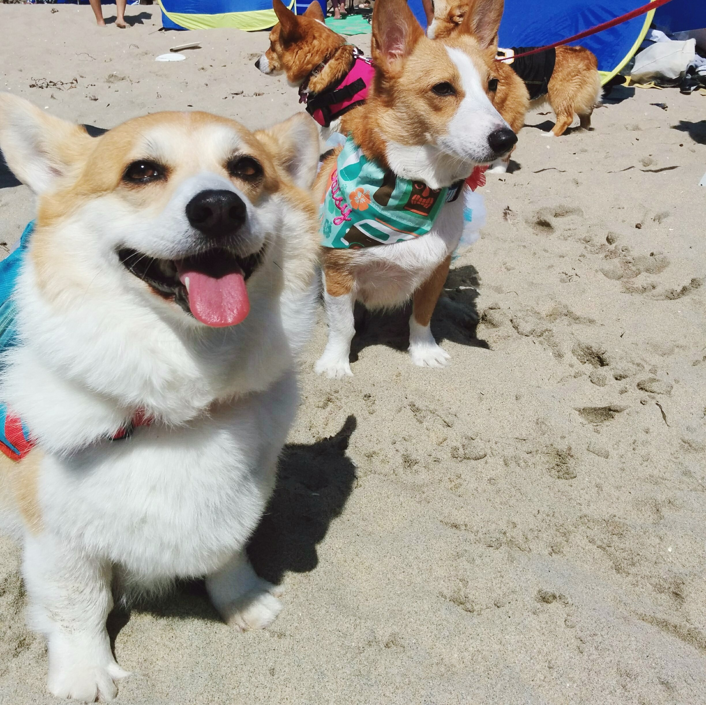 500 corgis invade California beach