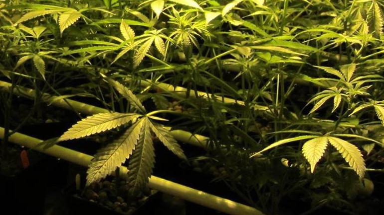 Marijuana (CNN)