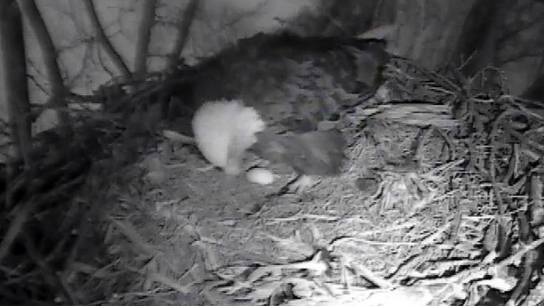 First egg of 2015 laid in Decorah eagles' nest. (Raptor Resource Project)