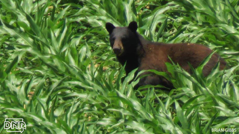 Black bear in Allamakee County corn field. (Courtesy: Brian Gibbs)