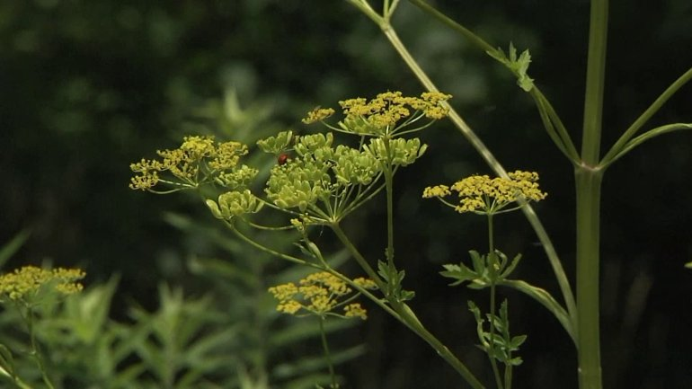 Wild parsnip. (WHO-HD)