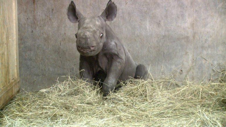 Rare black rhino calf born at Blank Park Zoo. (WHO-HD)