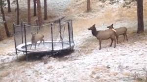 Elk Jump on Trampoline