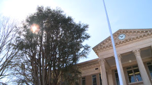 Friday view of the Atlas Cedar on the East side of the Limestone County Courthouse. (Photo: Al Whitaker)