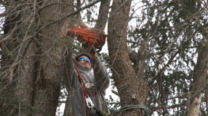 Tree climber Randy Norman cuts one of many large limbs during removal of the Atlas Cedar on the East side of the Limestone County Courthouse Saturday afternoon. (Photo: Al Whitaker)