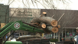 Larger limbs from the Atlas Cedar at the Limestone County Courthouse about to be loaded onto a trailer to be carted away. (Photo: Al Whitaker)